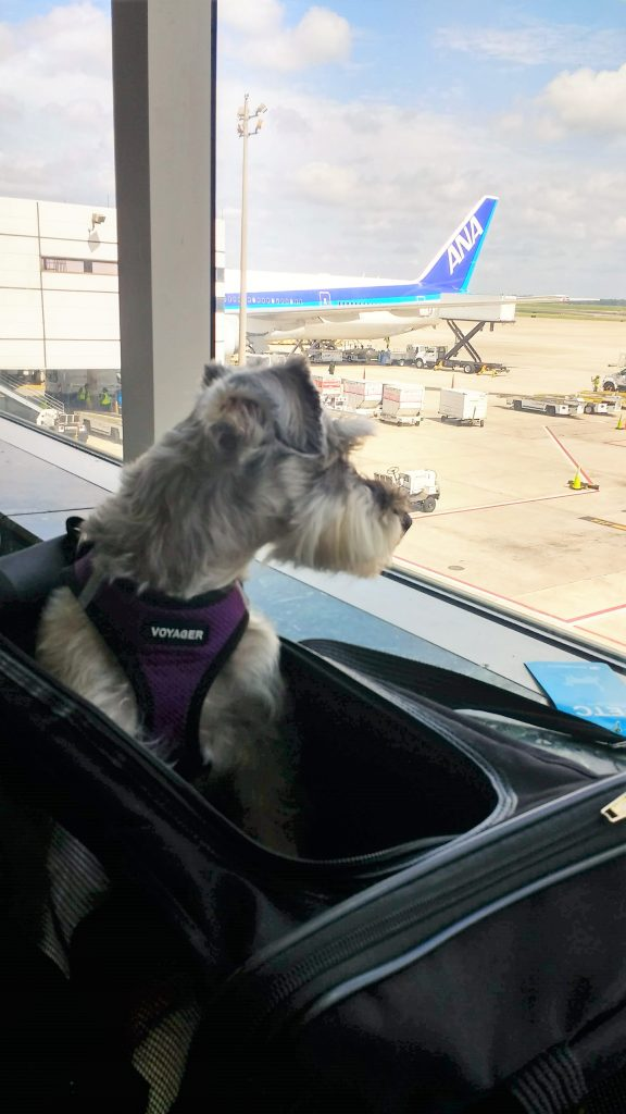dog in travel bag looking out window at airport