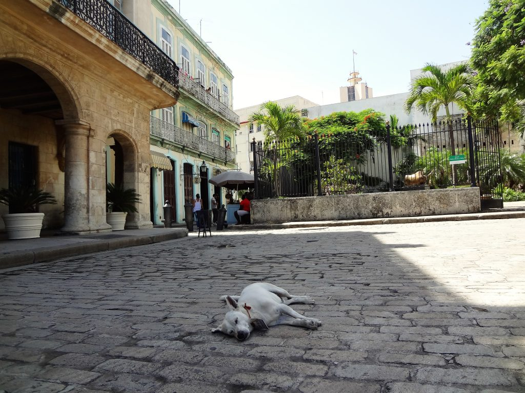 Havana stray dog in Old Square Havana
